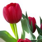 rote Tulpenknospen